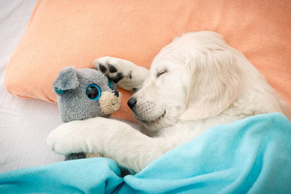 Wie kleine Kinder brauchen auch Welpen täglich eine Riesen Portion Schlaf, um alle Eindrücke zu verarbeiten.
