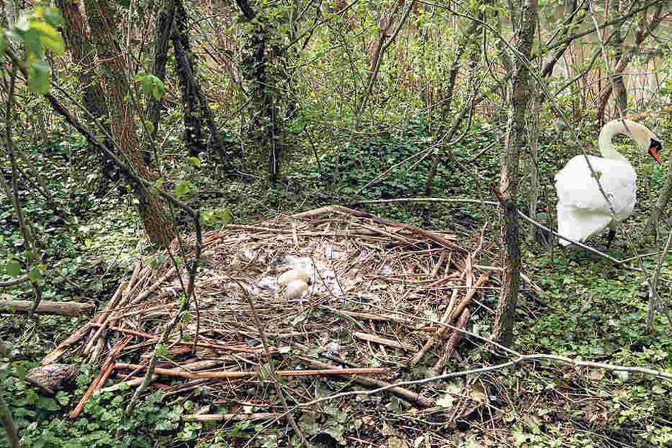 Schwanenpaar vom Carolasee hat die Eier versteckt