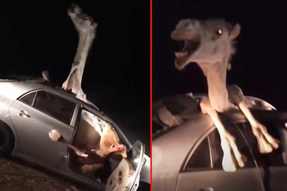 Das Kamel konnte sich allein aus seiner misslichen Lage nicht befreien.