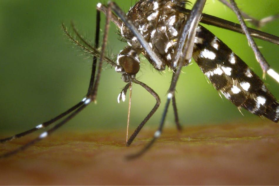 Durch ihren Stich können Tigermücken gefährliche Krankheiten wie das Dengue-Fiber übertragen.