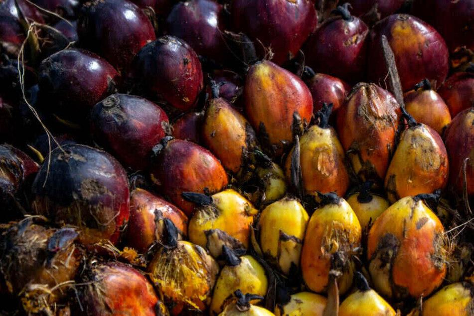 Palmöl-Früchte: Im Vergleich zu anderen Ölpflanzen ist Palmöl auf die Fläche gesehen sehr viel ertragreicher.