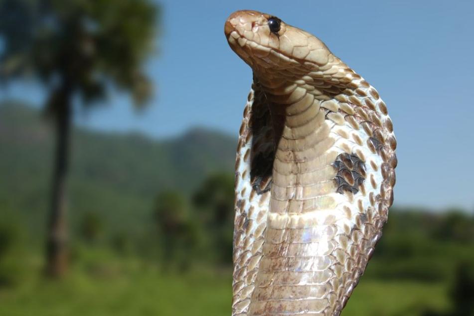Eine Kobra wurde dem 33-Jährigen zum Verhängnis.