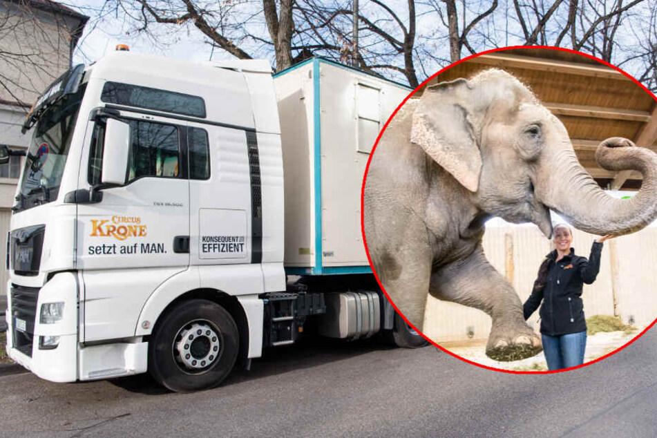 Im Lastwagen wurden die Elefantenkühe aus Spanien zurück nach München geholt. Jana-Mandana Lacey-Krone (r), Direktorin des Circus Krone hatte, hat sie begleitet. (Bildmontage)