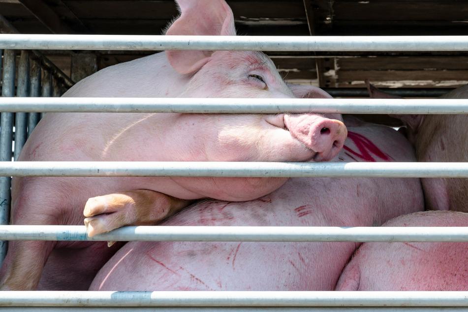 Entsetzlicher Todeskampf! 130 Schweine verenden beim Verladen in Laster
