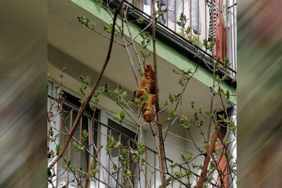 """Der """"Leguan"""" entpuppte sich als altes Croissant, das zwischen den Zweigen hing."""
