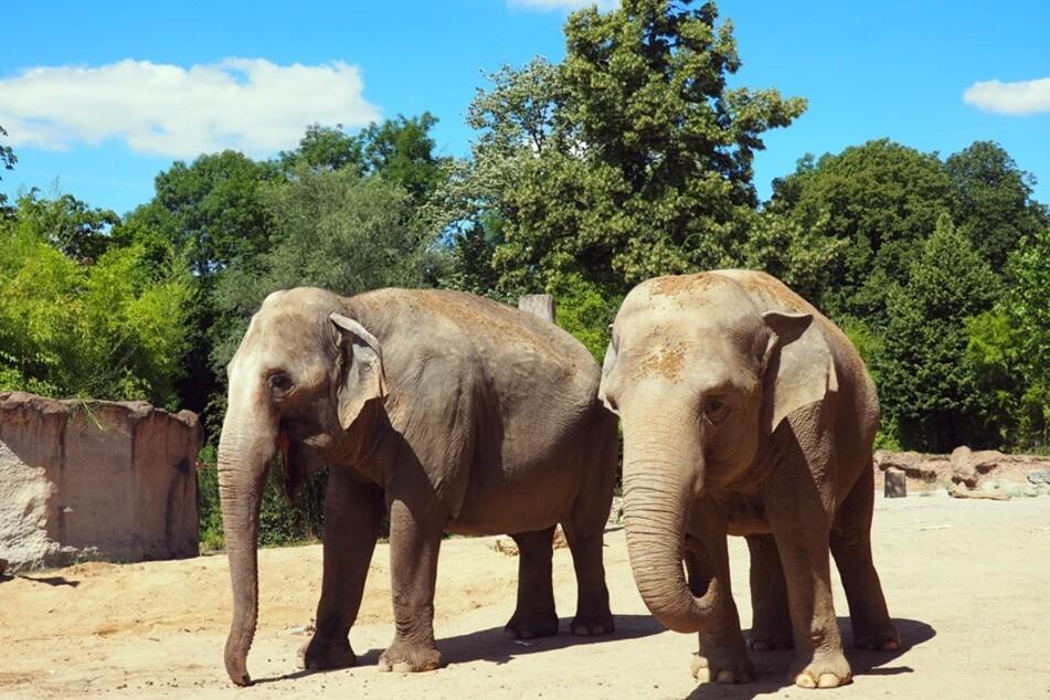 Die beiden Elefantenkühe Trinh (l.) und Hoa sind wohlbehalten in ihrem neuen Zuhause angekommen.