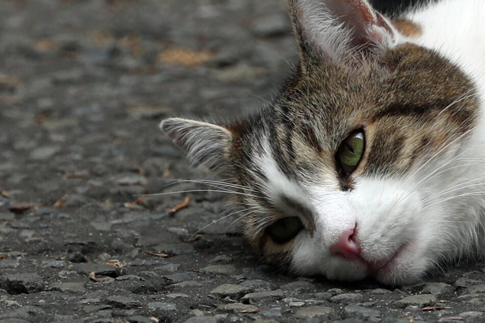 Katze liegt auf der Straße, dann rücken Polizisten an und helfen