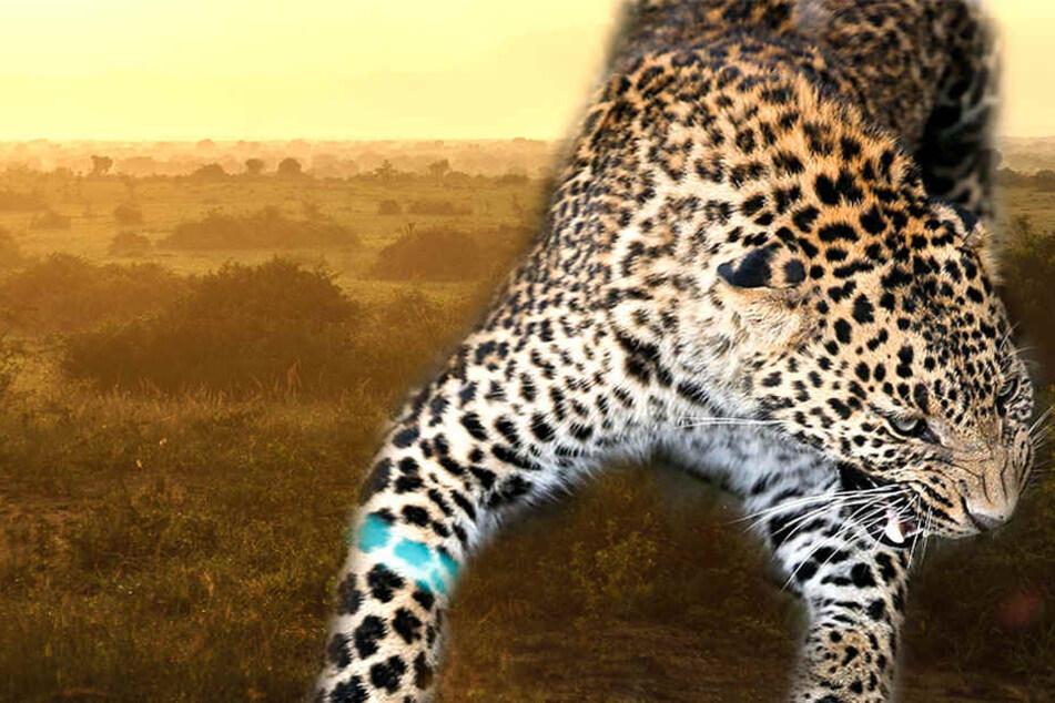 Im Queen-Elizabeth-Nationalpark wurde ein Kind von einem Leoparden aufgefressen.