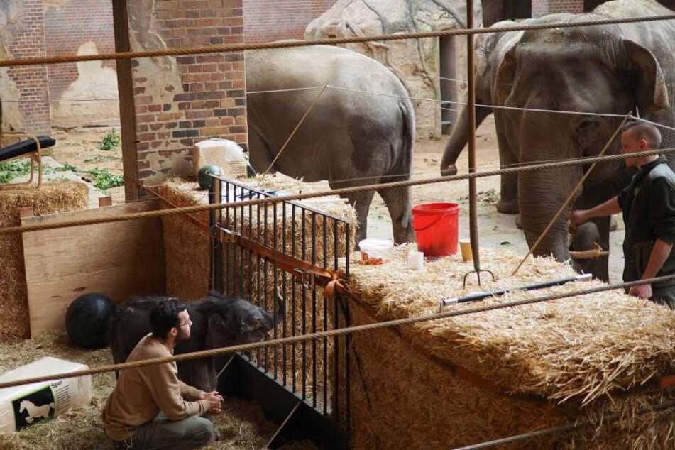 """Im eigens gebauten """"Kinderzimmer"""" können sich neben Mutter Hoa auch die Tanten Don Chung und Rani an den kleinen Bullen gewöhnen."""