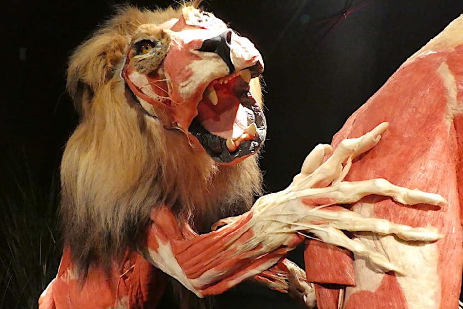 Die Pranke des plastinierten Löwen Icke ähnelt anatomisch sehr der menschlichen Hand.
