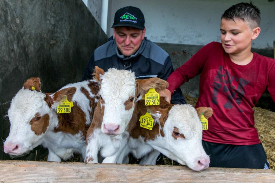 Drei auf einen Schlag: Kuh bringt Drillinge zur Welt