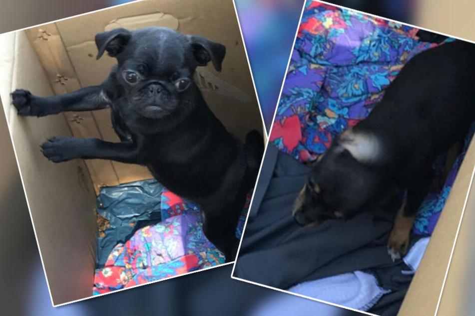 Hundewelpen hatten Hunger und Durst: Zollbeamte retten Chihuahua und Mops