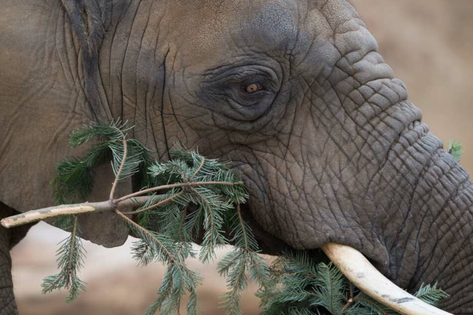 Ein Elefant kaut genüßlich auf einem Tannenbaum rum.