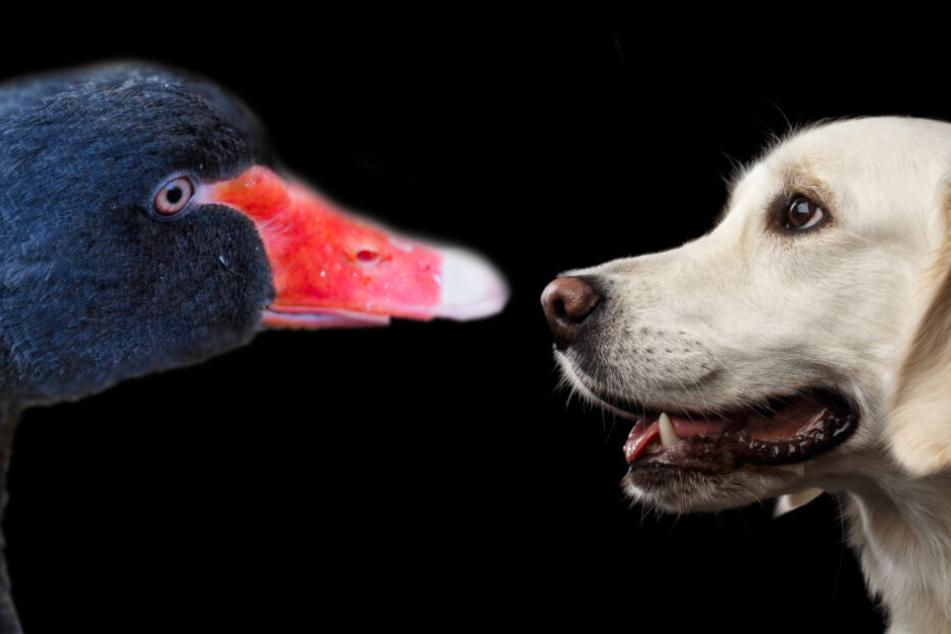 Üble Attacke! Schwan greift unschuldigen Hund an