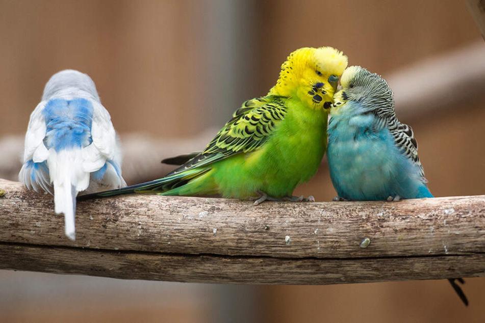 Das Wellensittich-Weibchen (re.) schmust mit einem Männchen. Der Vogel links hat erst mal Pech.
