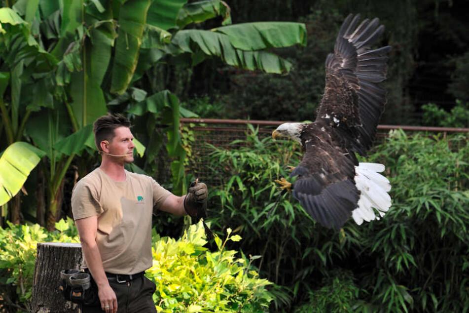 Ein Tierpfleger mit dem Weißkopfseeadler Paco.