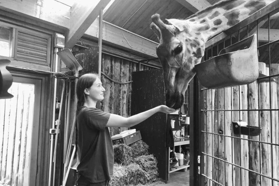 Giraffendame Femke starb kurz nach der Totgeburt ihres Kalbs.