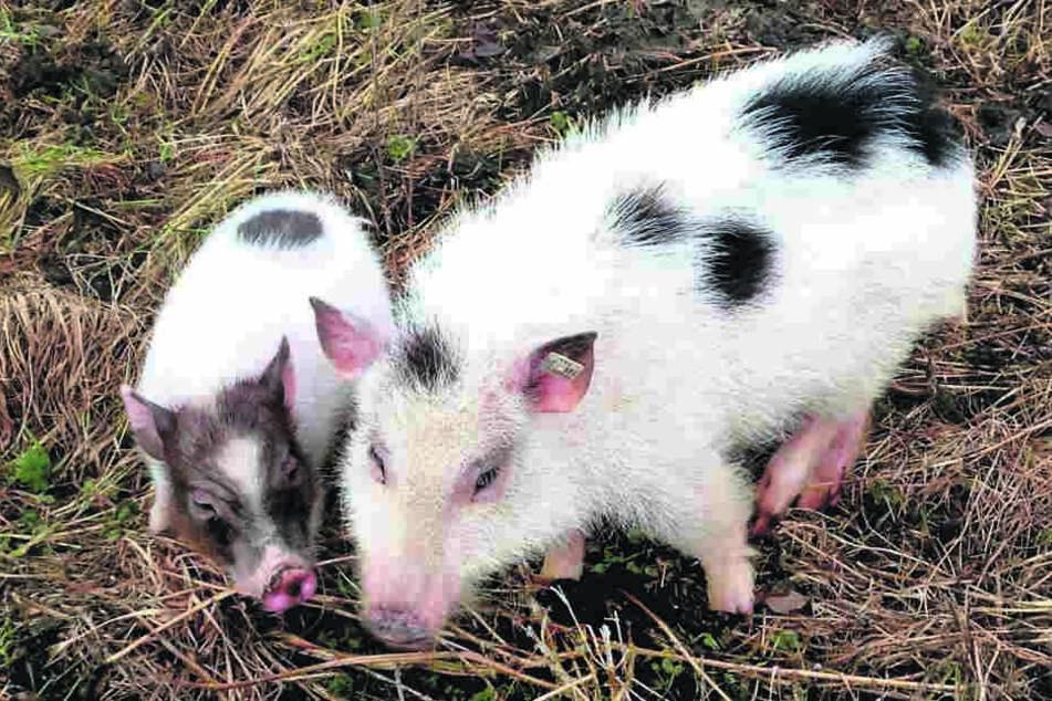 Interessiert rüsselt Theaterschweinchen Eddy (l.) an seiner neuen Liebschaft Rosi.