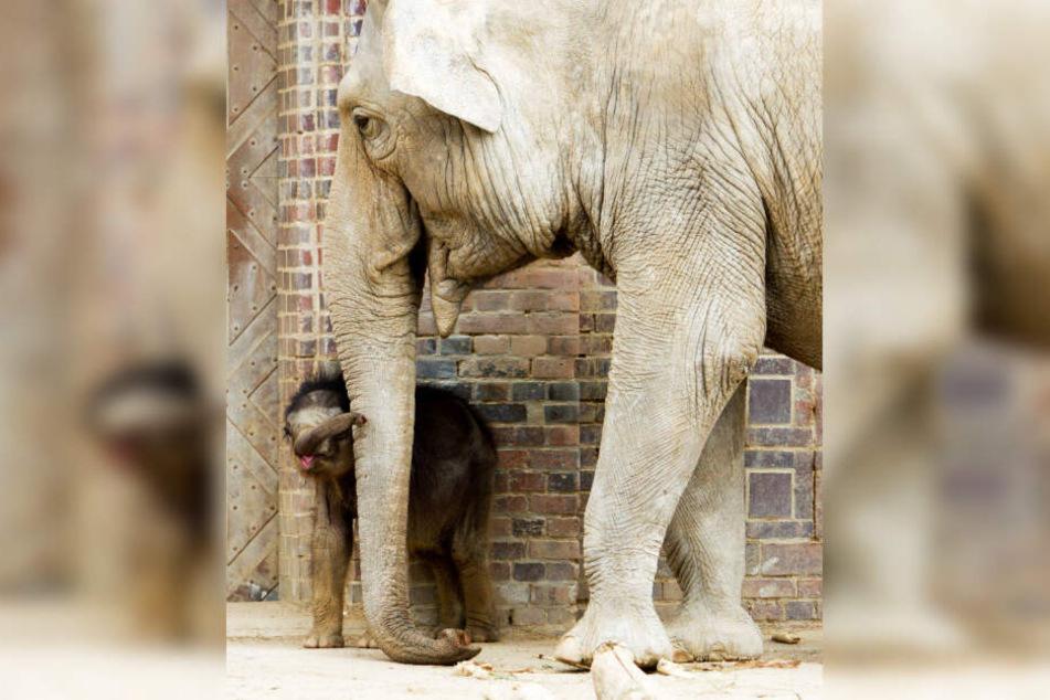 Zweimal täglich wird das Leipziger Elefantenbaby mit den Tanten Don Chung (im Bild) und Rani auf die Außenanlage gelassen.