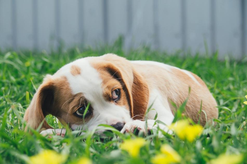 Hunde möchten mit ihrem unterwürfigen Verhalten schnell wieder für gute Stimmung sorgen und Ärger abwenden.