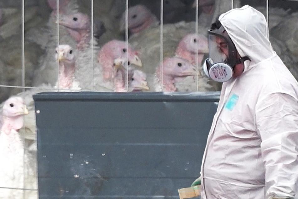 Hat sich die Vogelgrippe in Sachsen-Anhalt weiter ausgebreitet?