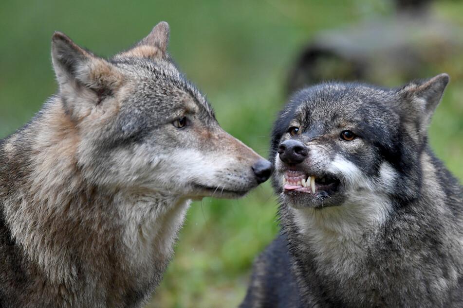 Wölfe: Drama in Wildpark! Leitwolf von eigenem Bruder tot gebissen