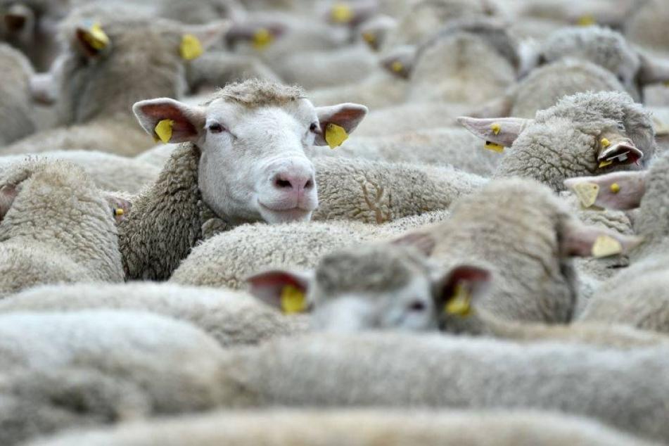 Dreister Diebstahl: 200 Schafe geklaut