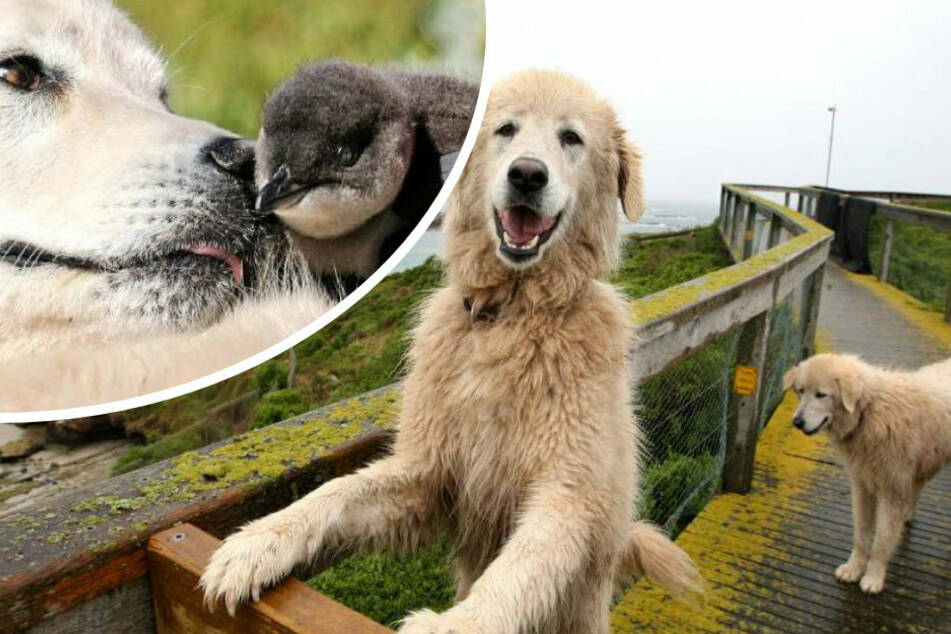Wuff! Die italienischen Schäferhunde beschützen die Pinguine beim Brüten.