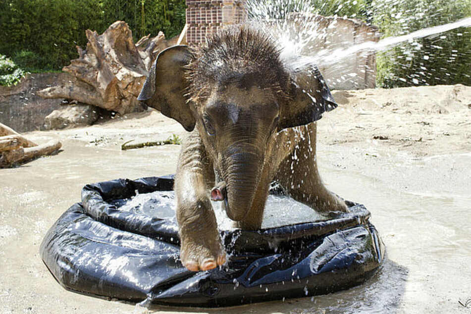Kiran hatte sich sogar zu einer richtigen Wasserratte entwickelt, ging mittlerweile auch mit den anderen Elefanten baden.