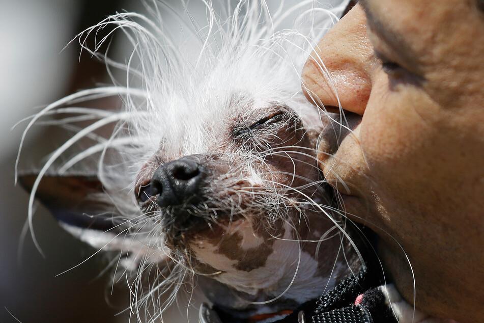 """Für Rascal hat es nicht zum Sieg als """"Hässlichster Hund der Welt"""" gereicht, dafür hat er bereits zahlreiche andere Titel abgeräumt."""
