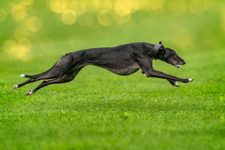 Greyhounds sind die schnellsten Hunde der Welt und können um die 80 km/h schnell rennen.
