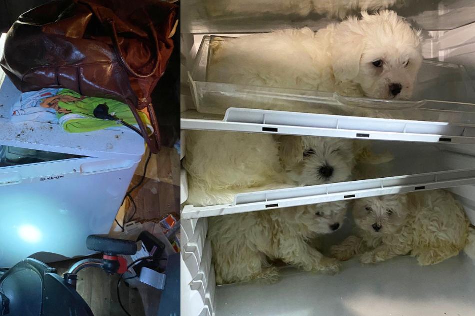 Kleine Hunde in Kühlschrank gestopft, um sie als Geschenk zu verkaufen!