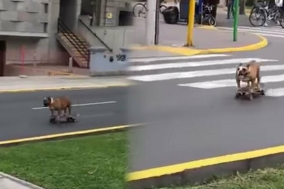 Bulldog cruises around on a skateboard like a pro