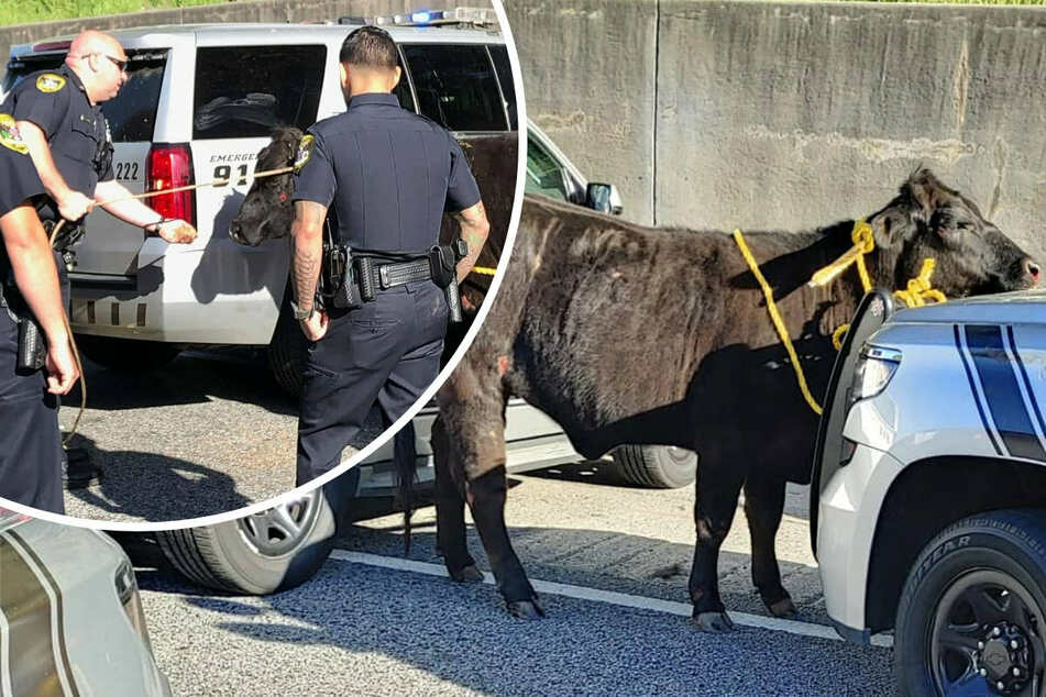 Udder chaos: police called in to capture cow loose on Georgia interstate