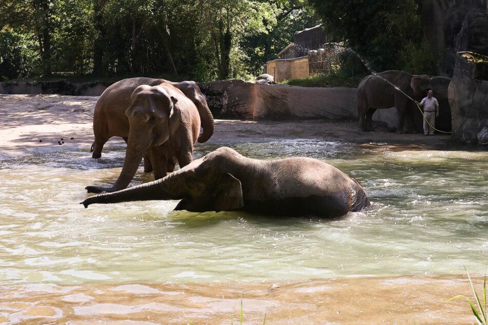 Elefanten baden in einem Wasserbecken des Elefantengeheges im Tierpark Hagenbeck.