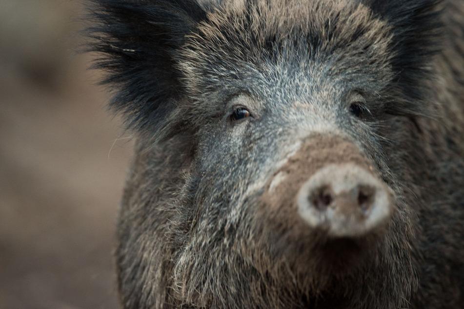 Obwohl Wild eigentlich als Delikatesse gilt, werden in Bayern jedes Jahr Unmengen an Fleisch entsorgt. (Symbolbild)