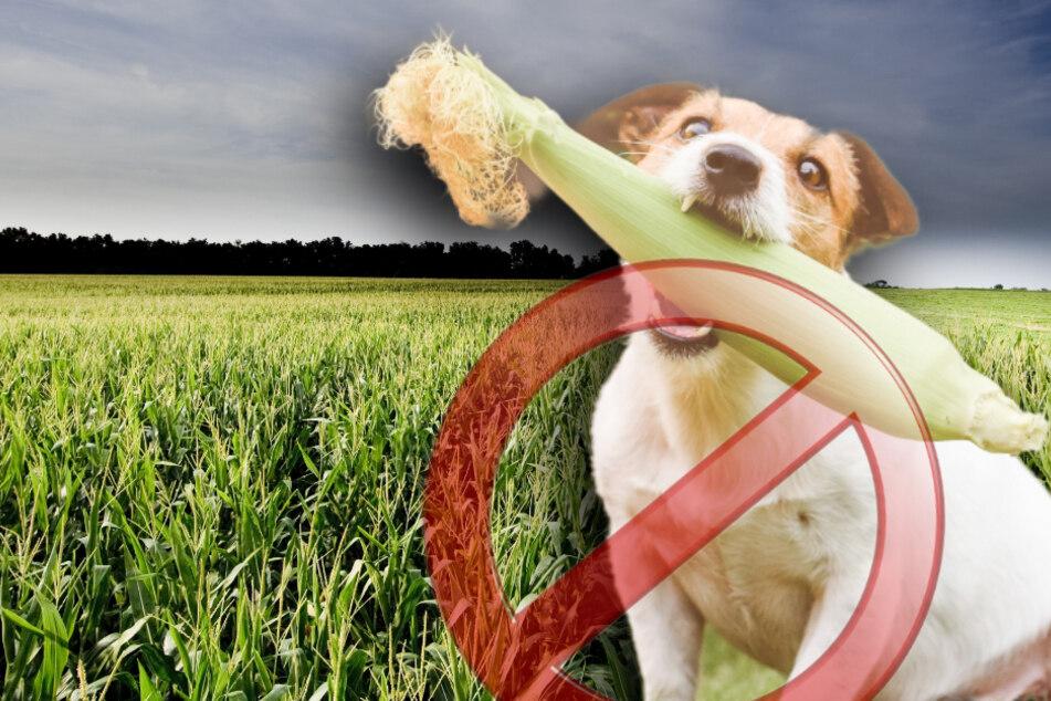 Hunde-Spaziergang: 3 Gründe, warum im Maisfeld Lebensgefahr droht