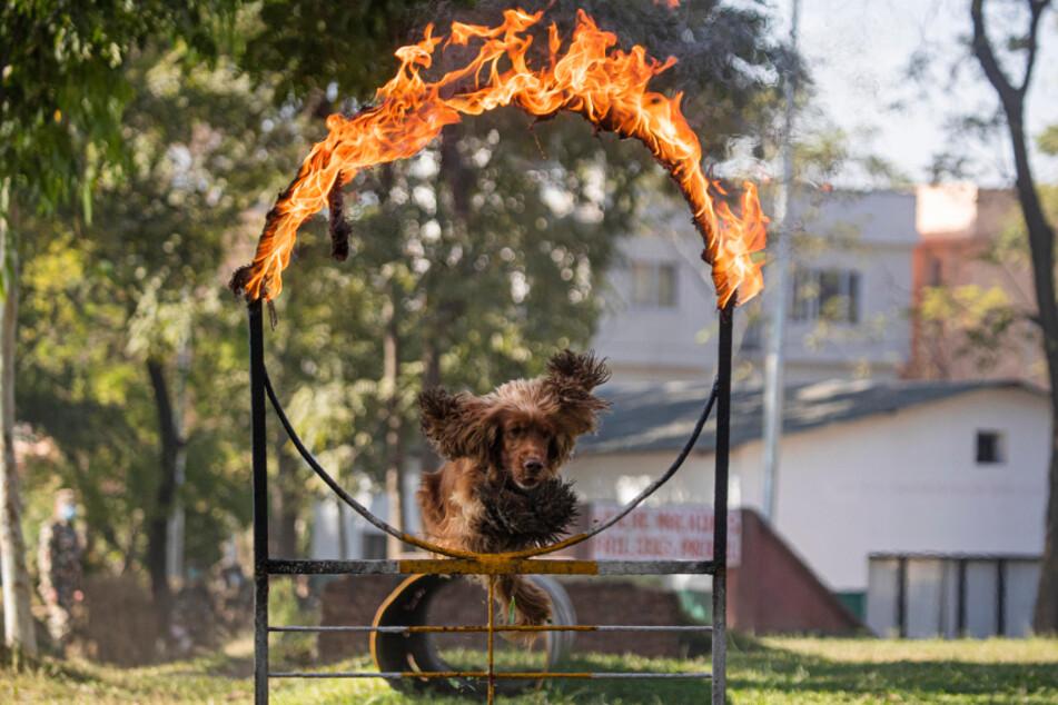 Ein Armeehund führt während des Kukkur-Tihar-Hundefestes, das auf den zweiten Tag des Tihar-Festes fällt, in einer Armeezwingerdivision Stunts vor.