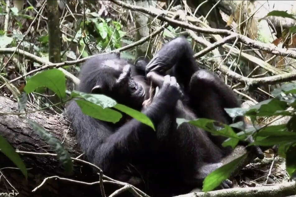 Eine Schimpansen-Mutter laust ihr Baby: Vor allem Menschenaffen sind Meister der sozialen Fellpflege.
