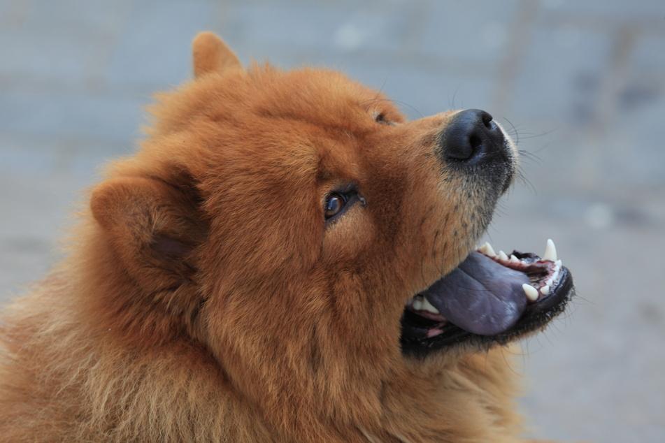 Hund mit blauer Zunge: Nur bei diesen drei Rassen ist das normal