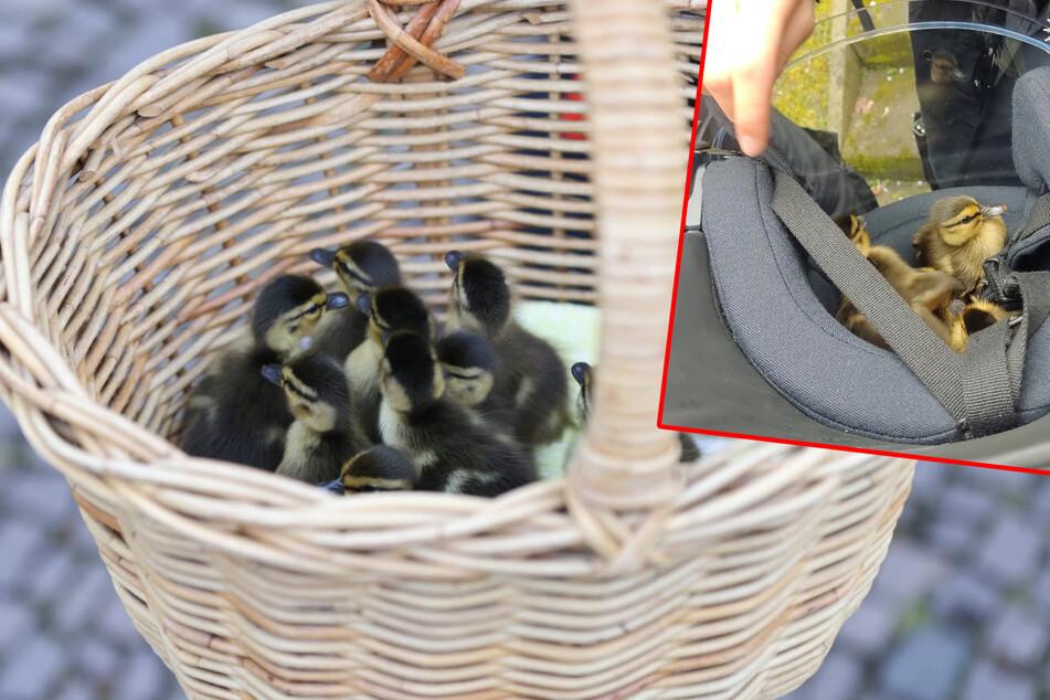 Zuckersüßer Einsatz: Die Polizei rettete am Samstag eine Entenfamilie aus einem Parkhaus in Leipzig. Zeitweise hatten es sich die Küken sogar in einem Helm gemütlich gemacht (kleines Bild).