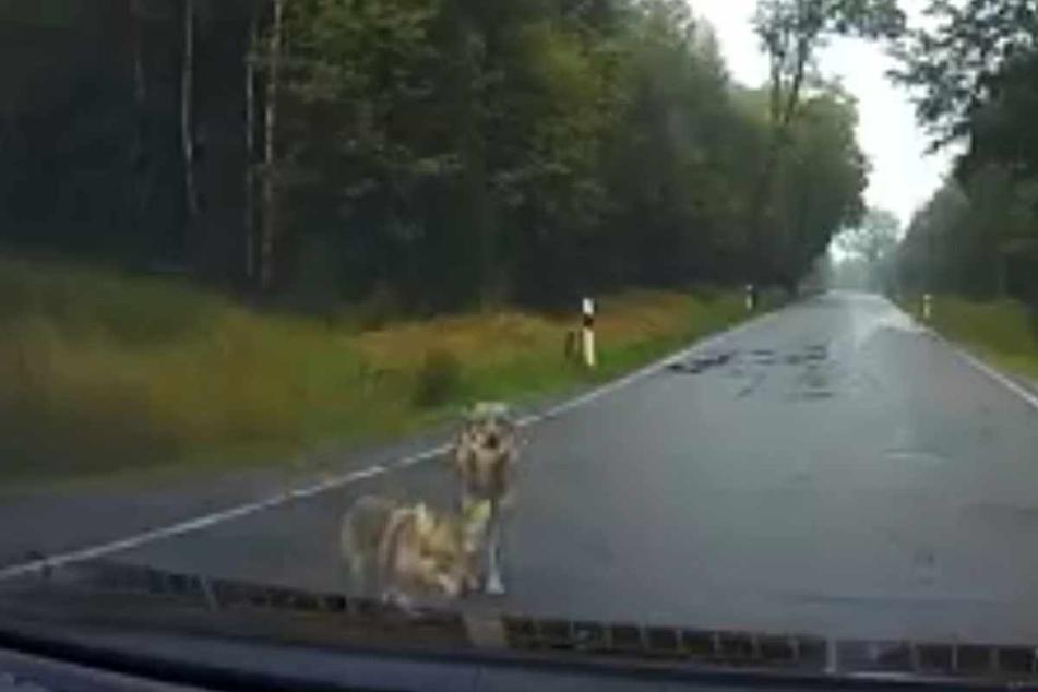 Wölfe oder Hunde? Die beiden Tiere, die an der Straße zwischen Reitzenhain und Steinbach direkt vor ein Auto liefen, sorgten für Aufregung im Erzgebirge.