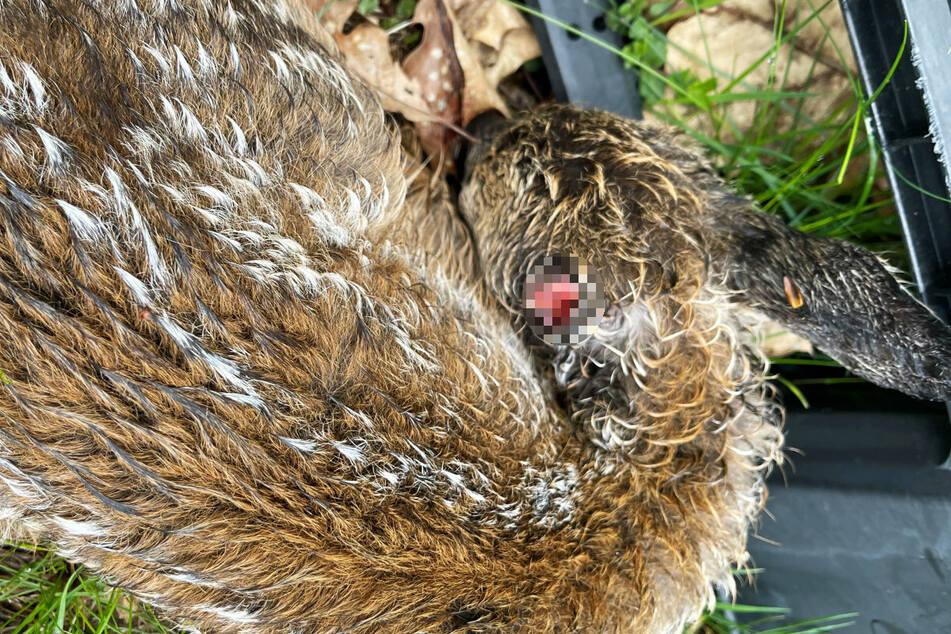 Das verletzt aufgefundene Rehkitz. Offenbar war es von einem Hund angegriffen worden.