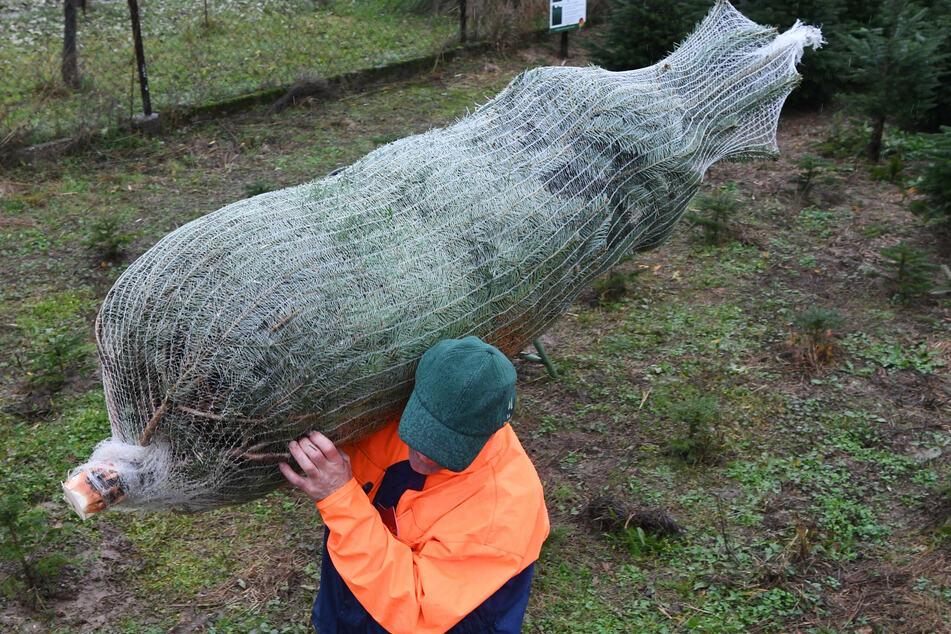 Ein Mann trägt einen eingenetzten Tannenbaum auf der Schulter.