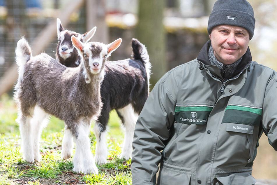 """Nach langer Schließung des Wildgeheges Moritzburg: """"Tiere haben sich vom Menschen entwöhnt"""""""