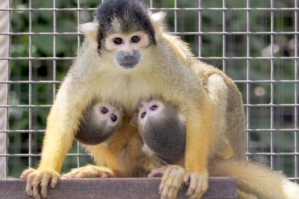 Bei den Totenkopfäffchen in der Wilhelma gab es vierfachen Nachwuchs. Ungewöhnlicherweise übernimmt das Weibchen Lissi auch die Versorgung eines zweiten Jungtiers einer anderen Mutter.