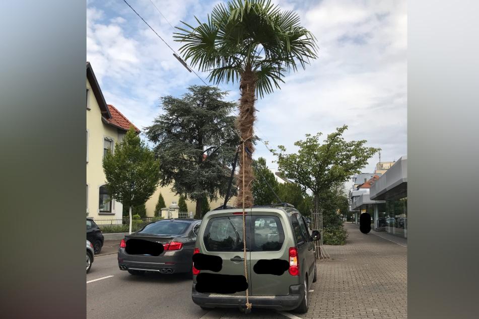 Aus dem Schiebedach des Wagens ragten Stamm und Krone einer mehr als vier Meter hohen Palme.