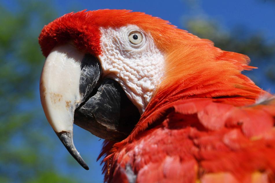 Echt oder unecht? Dieser Papagei ist der aus einem Pippi-Langstrumpf-Film bekannte Ara Papagei namens Rosalinda. Er verstarb im Februar 2019 im Alter von 51 Jahren.