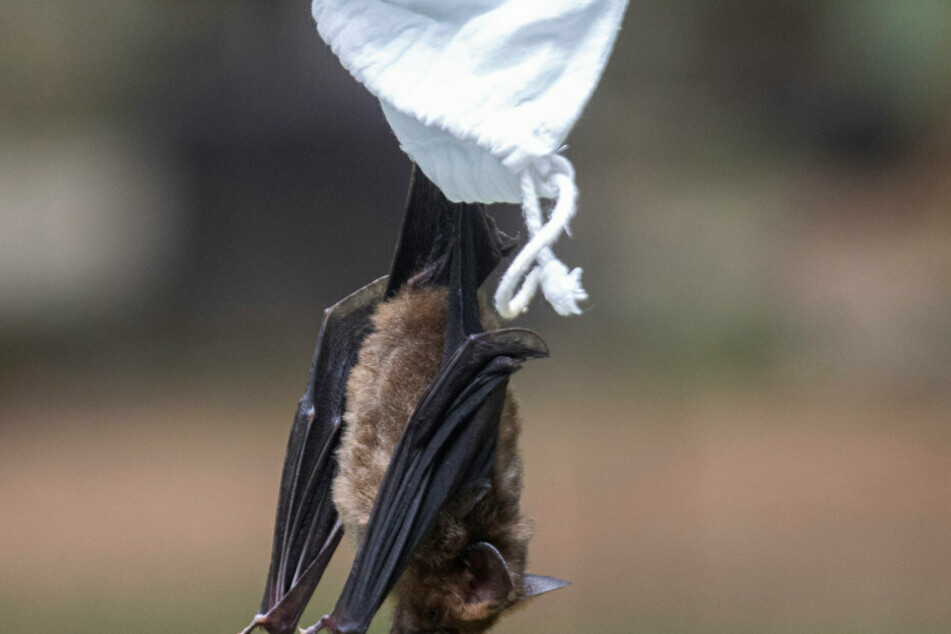 A researcher releases a bat after taking blood samples in Sai Yok National Park, west of Bangkok.
