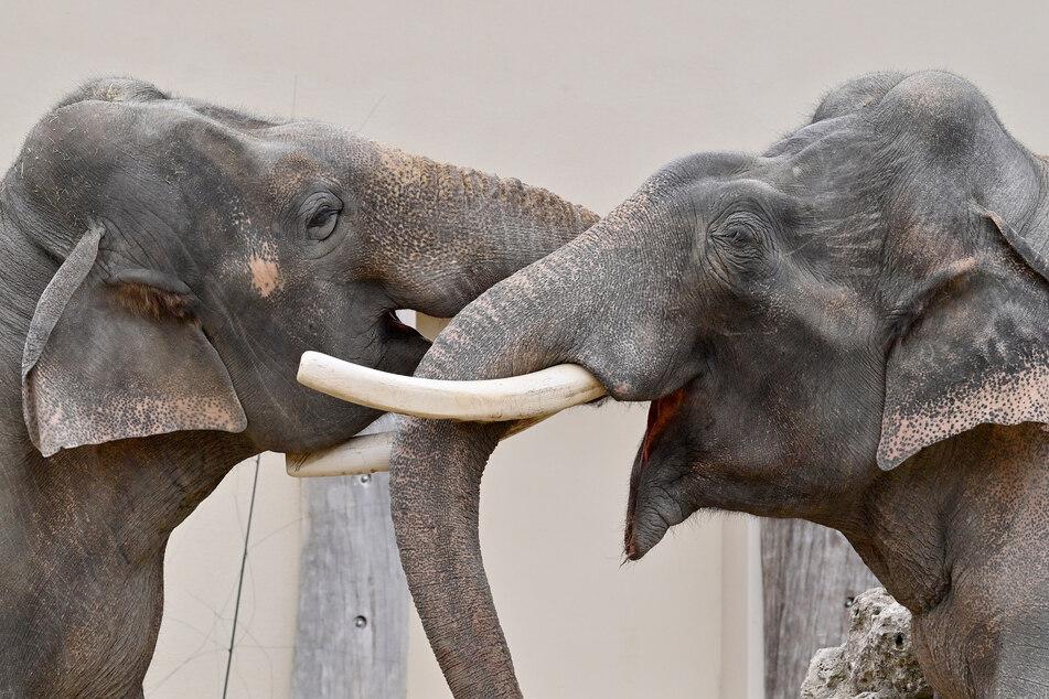 Zwei Elefanten im Tierpark Hellabrun. Diese sollen künftig die Feuerwehr unterstützten, so der Aprilscherz des Tierparks.